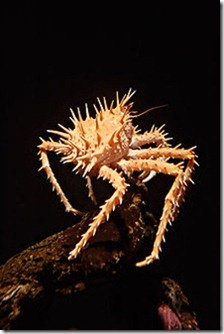 Spiny_king_crab