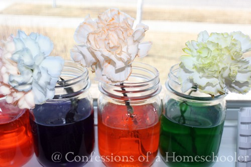 Flower Dyeing Science Experiment
